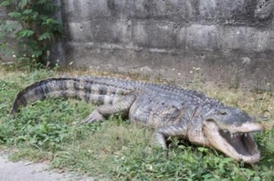 American Alligator 8ft (JR 080142)