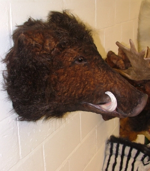 Wild Boar Head (Furry) (JR 2115)