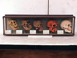 Evolution of Man- cased skulls (JR 1667)