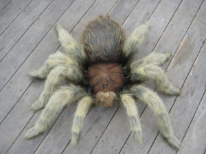 Tarantula Hairy 3ft (JR FSC1172H)