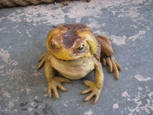 Cane Toad (JR 110082)