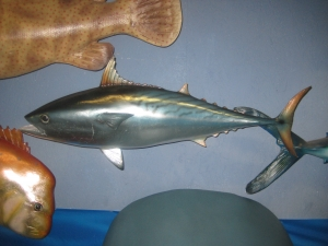 Mackerel Tuna (JR 120063)
