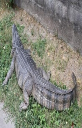 American Alligator 8ft (JR 080142) - Thumbnail 03