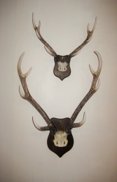 Large Mounted Antler (JR DD88198A) - Thumbnail 02