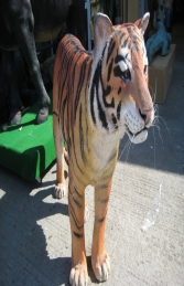Sumatran Tiger (JR 100078)