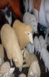 Merino Sheep Head Up (JR 080069)