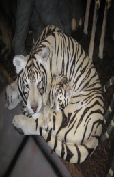 Bengal Tigress with Cub - Siberian White (JR 120011w) - Thumbnail 01