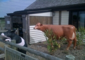 CARRUAN FARM - SOUTH DEVON COW