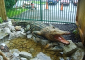LIFESIZE CROCODILE IN CORNWALL