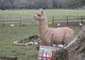 Eric the Alpaca in his new Home