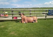 CARRUAN FARM - SOUTH DEVON LYING DOWN COW